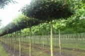 Acer campestre 'Elegant' Dakvorm 20-25