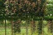 Acer campestre 'Elsrijk Schermvorm 30-35