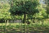 Acer campestre 'Elsrijk' Kubusvorm 18-20