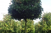 Acer campestre 'Elsrijk' Kubusvorm 20-25