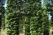Acer campestre 'Elsrijk' Schermvorm 18-20