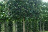 Acer campestre 'Elsrijk' Schermvorm 20-25 (2)