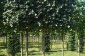 Acer campestre 'Elsrijk' Schermvorm 20-25