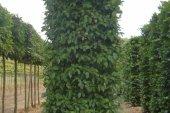 Carpinus betulus Blokvorm  75x75x350