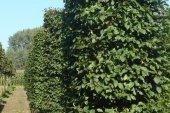 Carpinus betulus Blokvorm 100x100x350 (2)