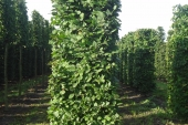 Carpinus betulus Blokvorm 75x75x275