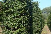 Carpinus betulus Blokvorm 75x75x350 (2)