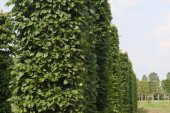 Carpinus betulus Blokvorm 75x75x350 (3)