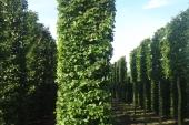 Carpinus betulus Blokvorm 75x75x450 (2)