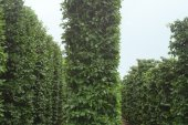 Carpinus betulus Blokvorm 75x75x450 (3)