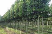 Carpinus betulus Blokvorm op stam 25-30