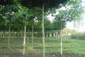 Carpinus betulus Dakvorm 18-20