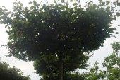 Carpinus betulus Dakvorm 20-25 (2)