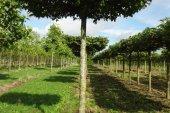 Carpinus betulus Dakvorm 25-30 (2)