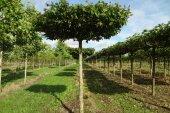 Carpinus betulus Dakvorm 25-30
