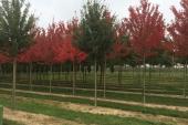 Acer rubrum Somerset