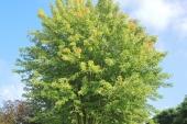 Acer saccharinum meerstam tot omv 160-180