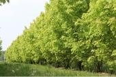 Acer saccharinum meerstammig 500-600