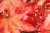 Liquidambar blad