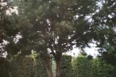 Pinus  meerstam