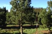 Pinus enkelstam