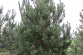 Pinus sylvestris vanaf bodem vertakt 500cm