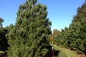 Pinus vanaf bodem vertakt